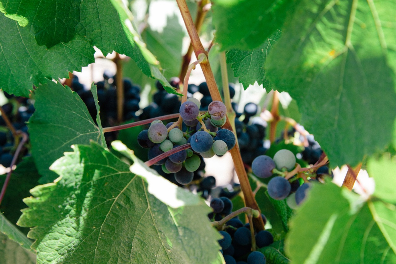 grapes for plants